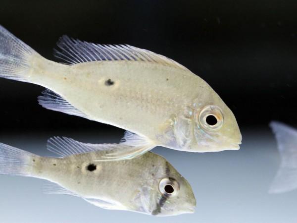 Biotodoma cupido - Schwanzstreifenbuntbarsch WF 5-6cm