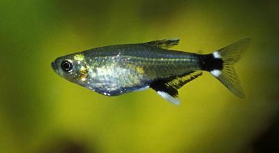 Aphyocharax paraquayenisis - Augenflecksalmler/Sonnensalmler