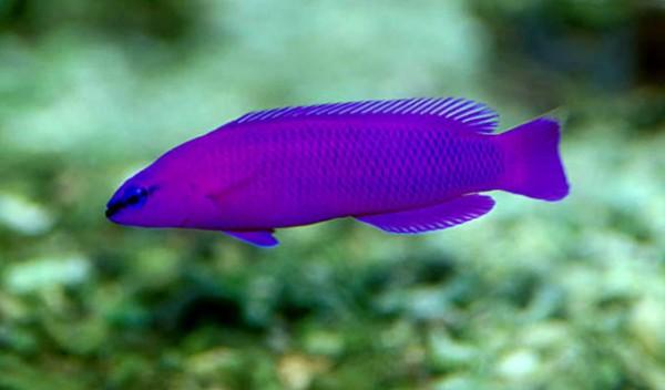 Pseudochromis fridmani - Fridmanns Zwergbarsch NZ