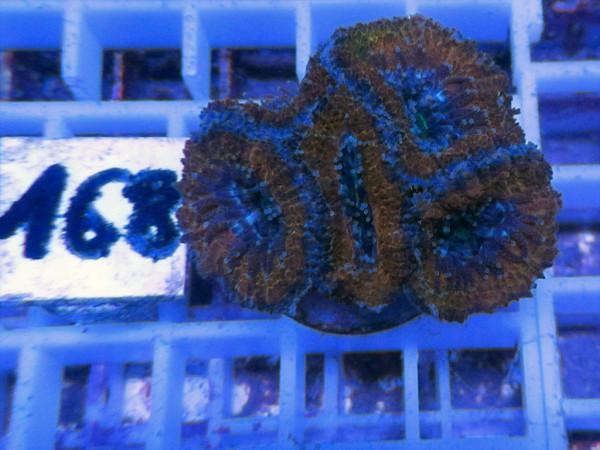 Acanthastrea spec. Frag (168)