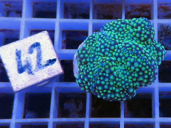 Ricordea floridae - grün (42)